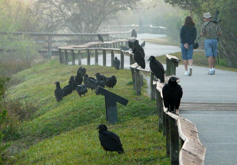 Trilhas Anhinga e Gumbo Limbo em Everglades em Miami