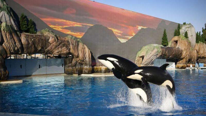 Baleias do Show Orca Encounter no SeaWorld em Orlando